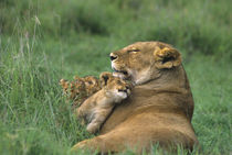 African lion mother and three cubs by Danita Delimont