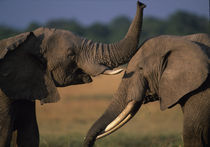 Two Bull elephants (Loxodonta africanus) sparring with tusks on savanna von Danita Delimont