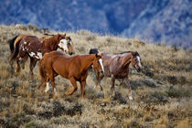 Horses roaming the scenic hills of the Big Horn MT of Shell Wyoming by Danita Delimont