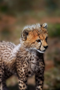 'Cheetah (Acinonyx Jubatus) as seen in the Masai Mara' von Danita Delimont