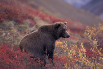 A female grizzly bear stands on alpine tundra in fall color by Danita Delimont