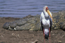 African Spoonbill (Platalea alba) standing along banks of Mara River by Nile Crocodile by Danita Delimont