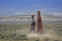 Two wild horses fighting by Danita Delimont