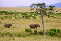 A African Elephant grazing in the fields of the Maasai Mara Kenya von Danita Delimont