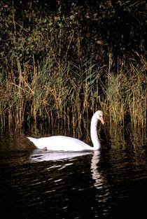 Mute swan by Danita Delimont