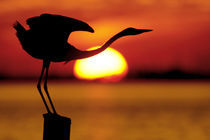 Silhouette of great blue heron stretching neck at sunset von Danita Delimont
