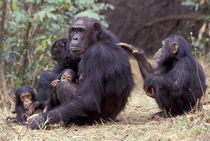 Gombe NP Infant female chimpanzee (Pan troglodytes) grooms her mother by Danita Delimont