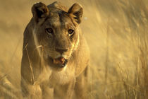 Lioness (Panthera leo) walking through tall grass near Xakanaxa von Danita Delimont