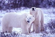 Polar Bears (Ursus mritimus) von Danita Delimont
