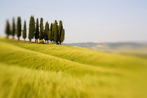 Selective Focus Cypress Trees and Wheat Field in Tuscany by Danita Delimont