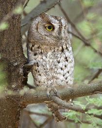 African Scops Owl at Tarangire NP von Danita Delimont