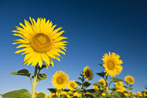 Sunflowers stand tall against a blue sky by Danita Delimont