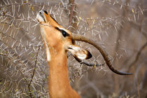 Adult browsing Acacia Thorn by Danita Delimont