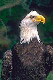 American Symbol of Freedom The Bald Eagle in the Wild von Danita Delimont