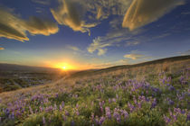 Sunset over the Bitterroot Mountains and vast field of lupine wildflowers looking west from Missoula Montana von Danita Delimont