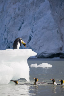 King Penguins (Aptenodytes patagonicus) and grounded iceberg from glaciers in mountains above Gold Harbour von Danita Delimont