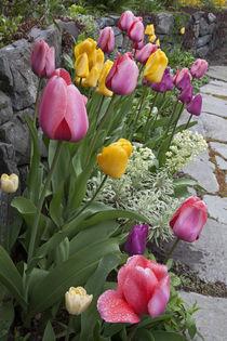 Tulips line garden wall von Danita Delimont