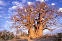 Baobab (Adansonia digitata) by Danita Delimont