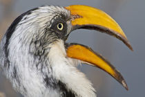 Eastern Yellow-billed Hornbill at Samburu NP by Danita Delimont