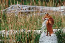 Red Fox in Habitat von Danita Delimont