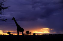 Colorful sunset late afternoon image of safari in Kenya Africa with wild giraffe roaming the jungle von Danita Delimont