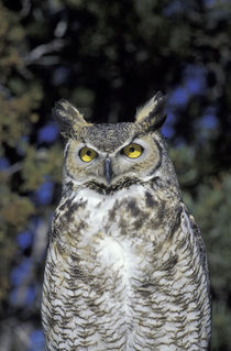 Wildlife West Nature Park Great Horned owl (Bubo virginianus); captive von Danita Delimont