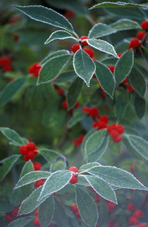 Holly Berries with frost von Danita Delimont