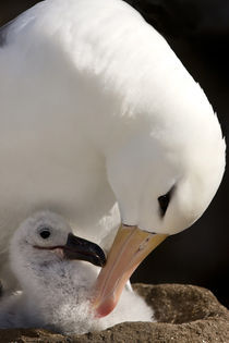Close-up of black-browed albatross parent preening chick von Danita Delimont