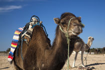Camels von Danita Delimont
