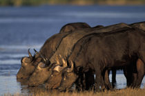 Cape Buffalo (Syncerus caffer) herd drinks from Chobe River at sunset von Danita Delimont