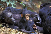 Gombe NP Female chimpanzee (Pan troglodytes) Fifi rests with grandson Fudge by Danita Delimont