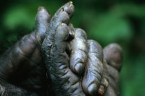Male Chimpanzee clasps his foot by Danita Delimont