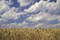 Wheat crop and clouds von Danita Delimont