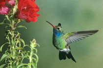 Broad-billed hummingbird male hovering by flower von Danita Delimont