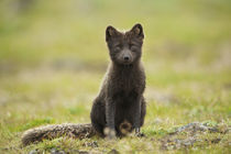 Blue phase Arctic Fox by Danita Delimont