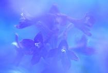 Delphinium closeup von Danita Delimont