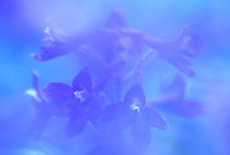 Delphinium closeup by Danita Delimont