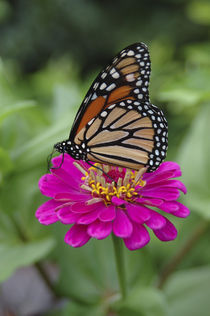 Monarch butterfly on Zinnia von Danita Delimont
