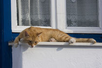 Curious orange tabby cat looks down from ledge von Danita Delimont