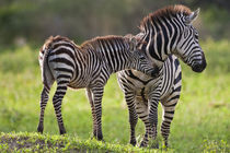 Common Zebra mother and baby at Tarangire NP by Danita Delimont