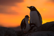 A gentoo penguin adult and chick are silhouetted at sunset on Petermann Island in the Antarctic Peninsula von Danita Delimont