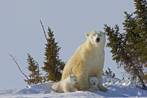 Polar bear cubs being protected by mother von Danita Delimont