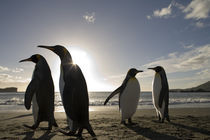 King Penguins (Aptenodytes patagonicus) along Cooper Bay at sunrise on summer morning von Danita Delimont