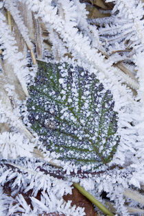 Wild Himalayan Blackberry leaf and frost by Danita Delimont