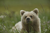 A yearling grizzly cub chews grasses in a meadow by Danita Delimont