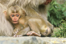 Snow Monkey Baby (Macaca fuscata) by Danita Delimont