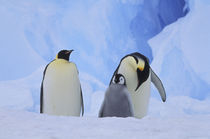 Emperor penguins and chick von Danita Delimont