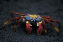 Sally Lightfoot Crab (Graspus graspus) scuttles across black lava rock on Floreana Island von Danita Delimont