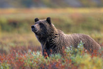 Grizzly bear surrounded by fall colors by Danita Delimont