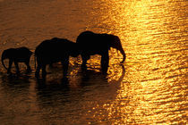 African Elephants (Loxodonta africana) von Danita Delimont